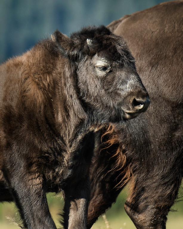 Yearling Wood Bison Calf