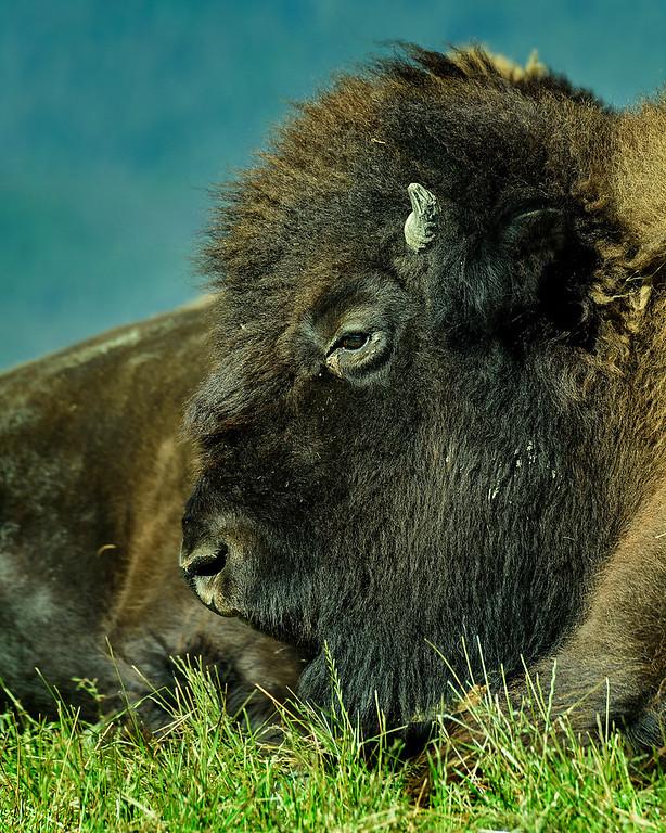 Alaska Wildlife Conservation Center- Wood Bison