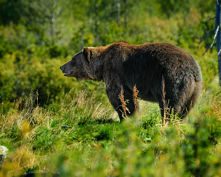 Alaska Wildlife Conservation Center- Grizzly side view